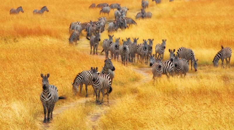 kenya_safari_zebra